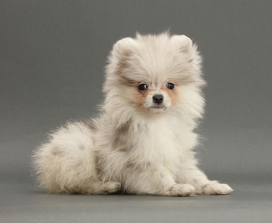 Pale Merle Pomeranian Puppy On Grey Photograph By Mark Taylor