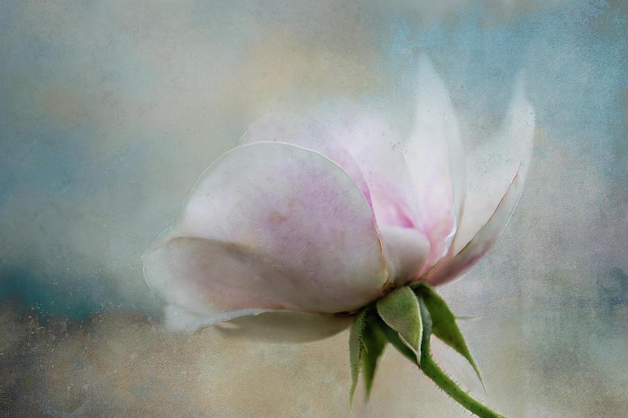 Pink Digital Art - Pale Summer Rose by Terry Davis