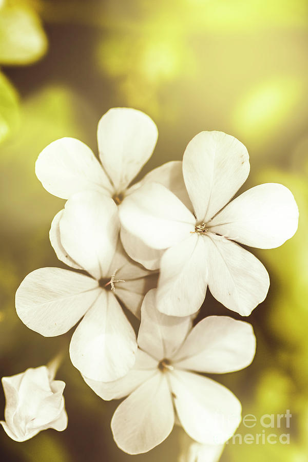 White Photograph - Pale Wildflowers by Jorgo Photography - Wall Art Gallery