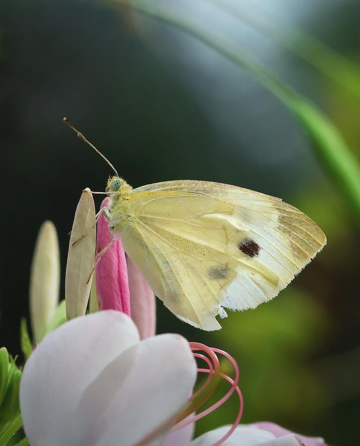 Pale Wing Cabbage White Butterfly Perched on Flower by David Lamb