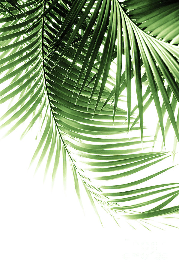 Palm Leaves Green Vibes 9 Tropical Decor Art Photograph By Anitas And Bellas Art You can find more tropical leaves clip arts in our search box. palm leaves green vibes 9 tropical decor art by anitas and bellas art