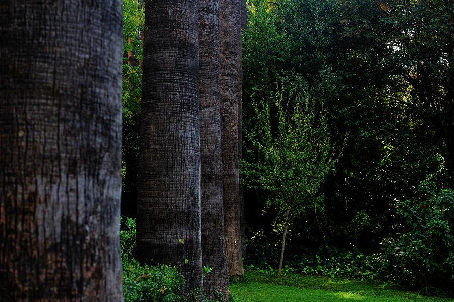 Palm Tree Trunks Photograph
