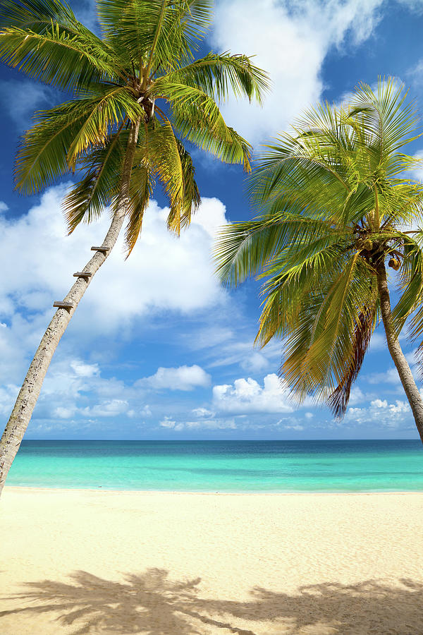 Palm Trees At A Tropical Beach In The Photograph by Cdwheatley