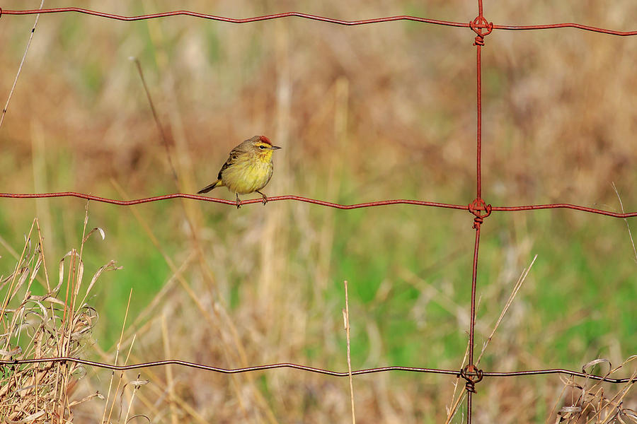 Palm Warbler by Gary Hall