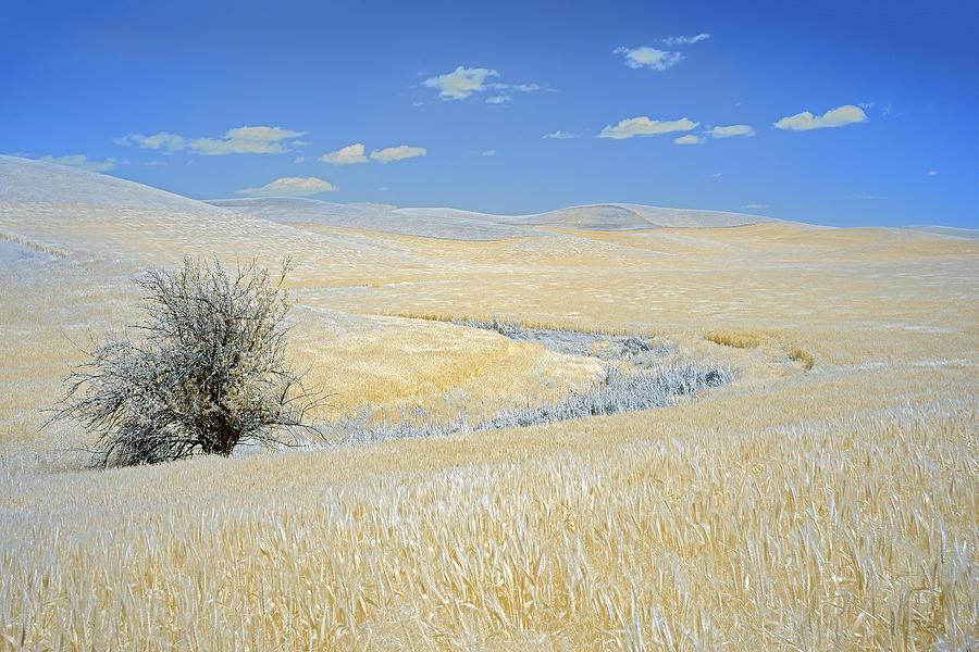 Palouse Tree by Jon Glaser