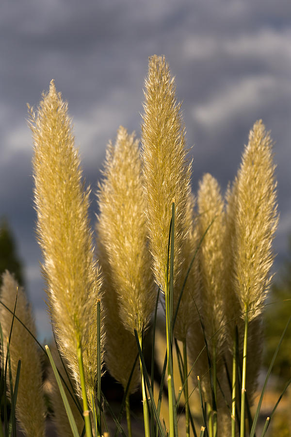 Pampas Grass And Grey Skies Photograph by Mark Miller