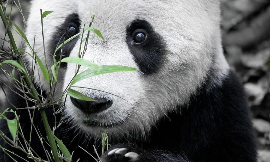 Panda Holding Bamboo Photograph by Hugociss