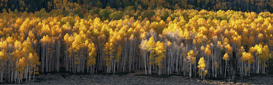 Pando Grove Panorama by Dustin LeFevre