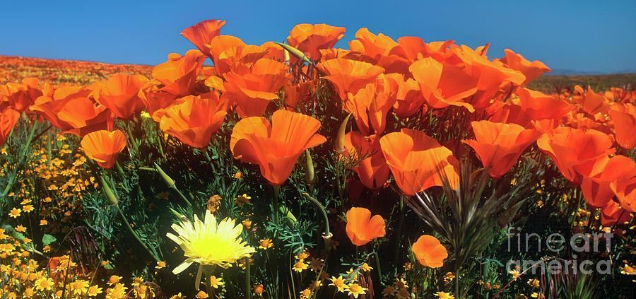 panorama california poppies desert dandelions california by Dave Welling