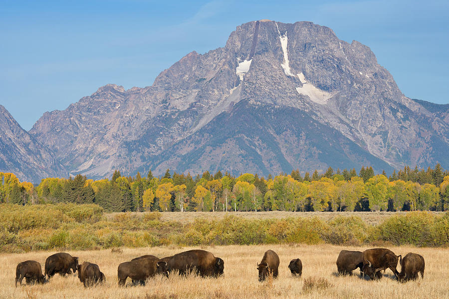 Panorama Of American Bison Buffalo On Photograph by Kencanning
