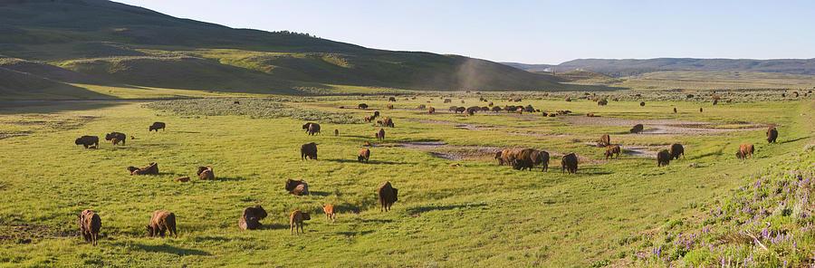 Panorama Of Bison In Hayden Valley Photograph by Robert C Nunnington