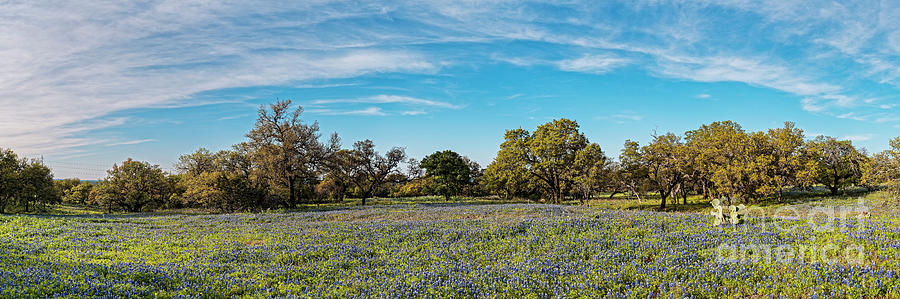Panorama Of Field Of Bluebonnets And Oaks In Willow City Loop - Fredericksburg Texas Hill Country Photograph