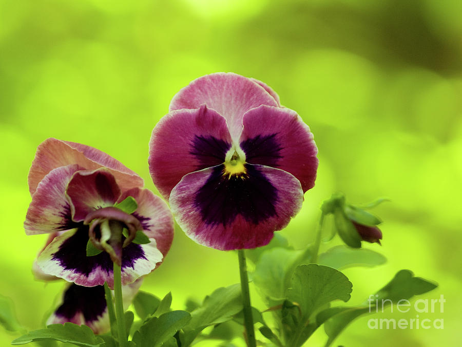 Pansies on A Brilliant Spring Day by Dorothy Lee