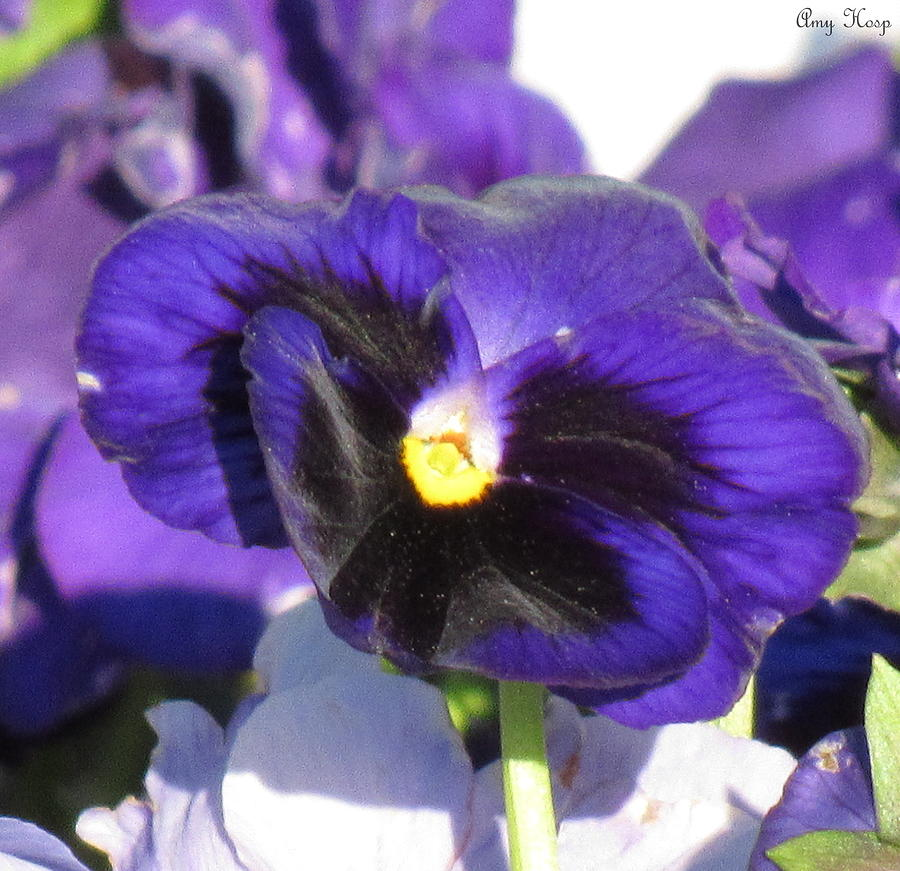 Pansy by Amy Hosp