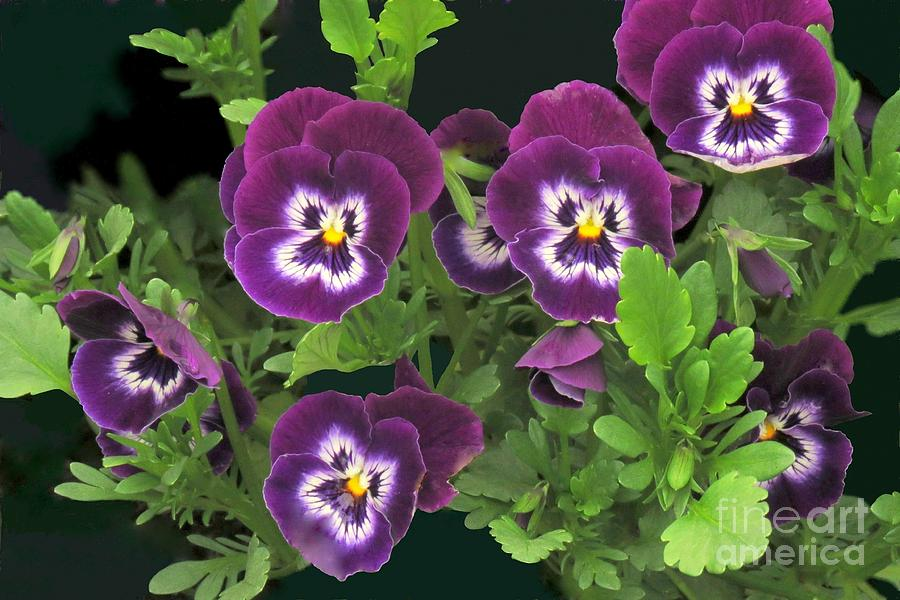 Pansy garden by Frank Townsley