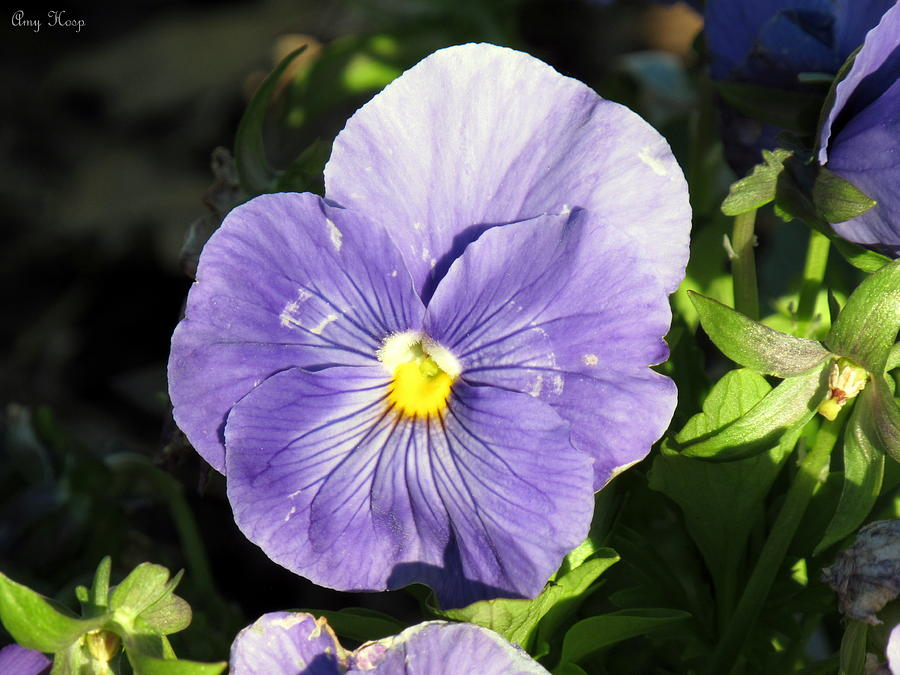 Pansy In Purple by Amy Hosp