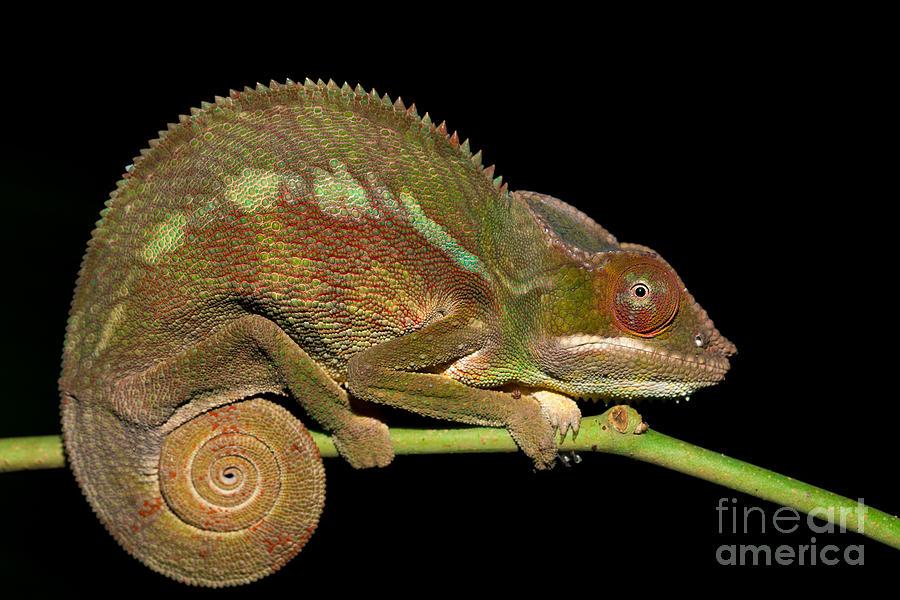 Dragon Photograph - Panther Chameleon Furcifer Pardalis In by Artush