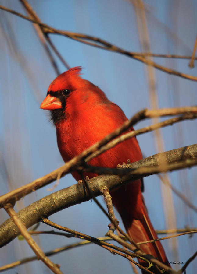 Papa Cardinal in the Willow by Ericamaxine Price
