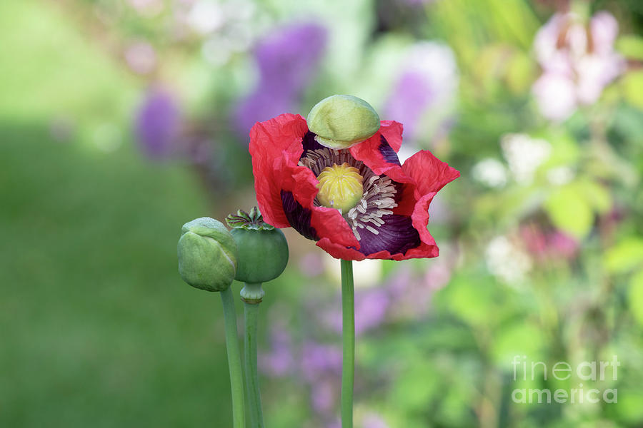 Papaver somniferum opening in the morning landscape by Tim Gainey