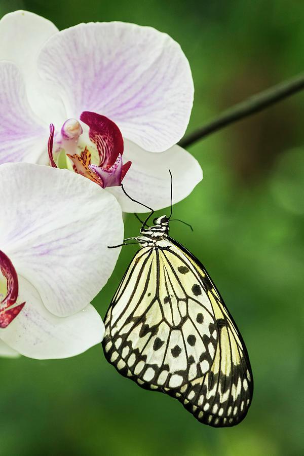 Adam Jones Photograph - Paper Kite Butterfly by Adam Jones