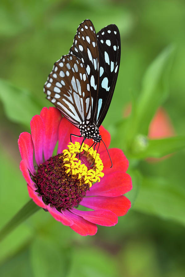Paper Kite Butterfly On A Wild Flower Photograph by Enviromantic