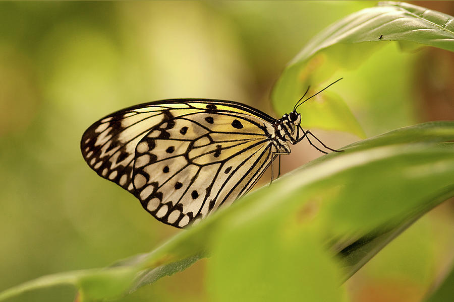 Paper Kite Butterfly Photograph by Photos By Jay Bee