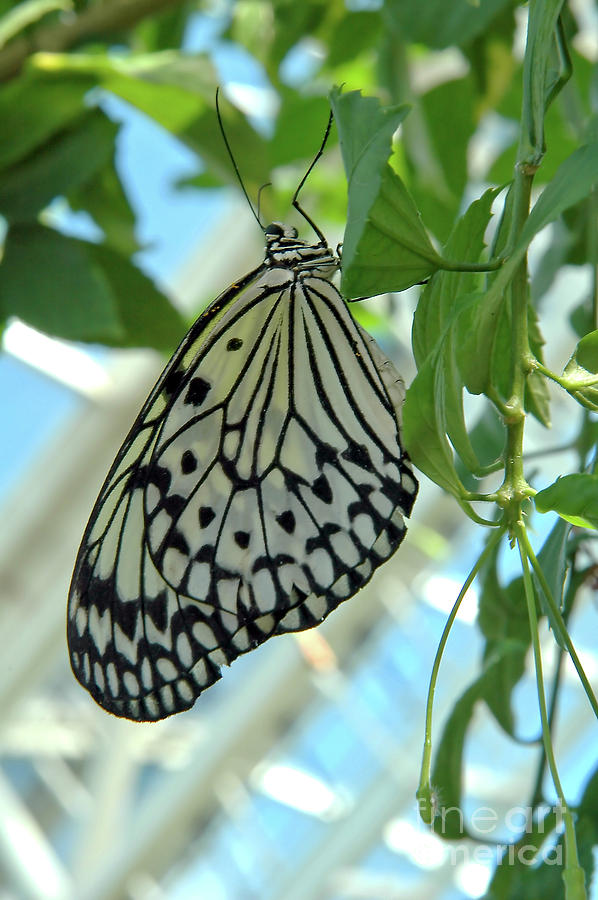 Paperkite Butterfly 4 by Steve Edwards