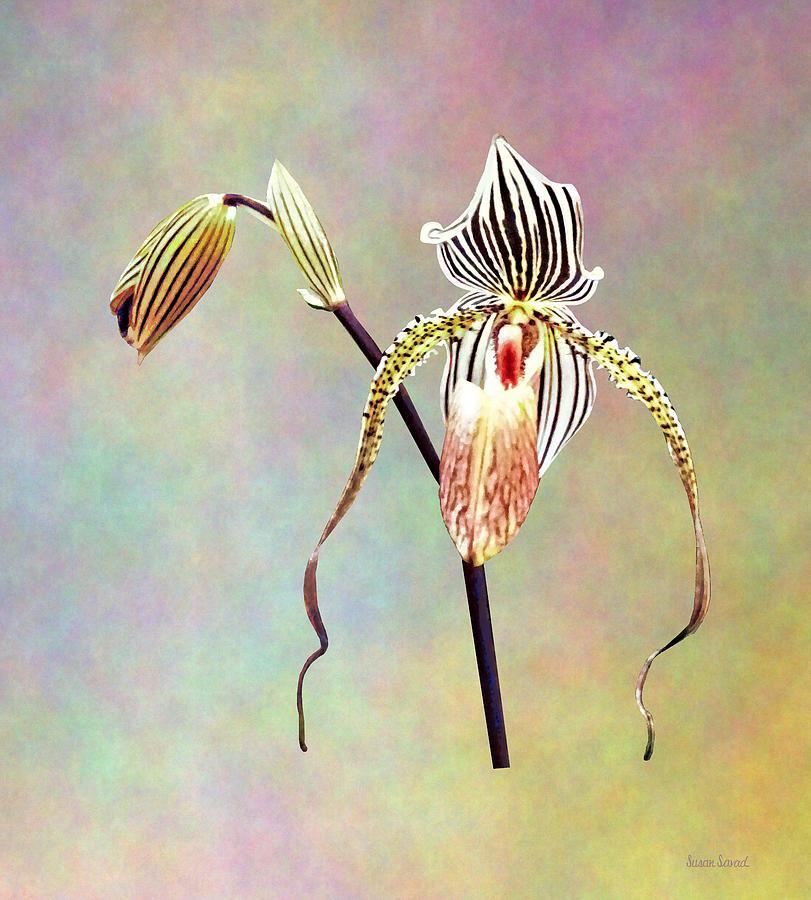 Paph Taiwan Orchid by Susan Savad