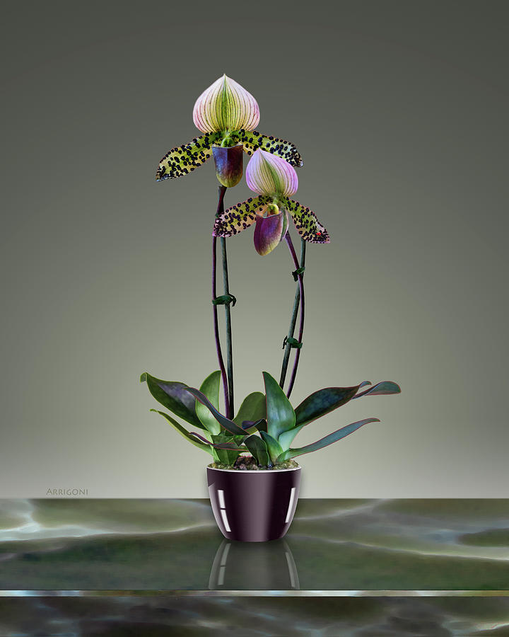 Paphiopedilum Slipper Orchids in Pot by David Arrigoni