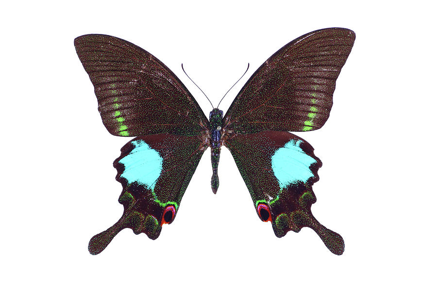 Papilio Butterfly Photograph by Imv