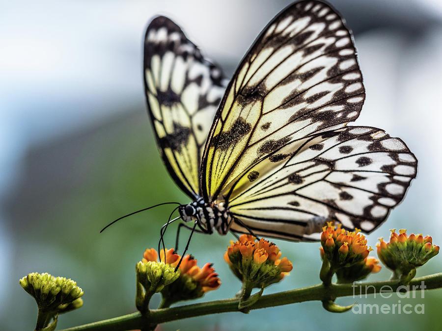 Papillon by Robin Zygelman