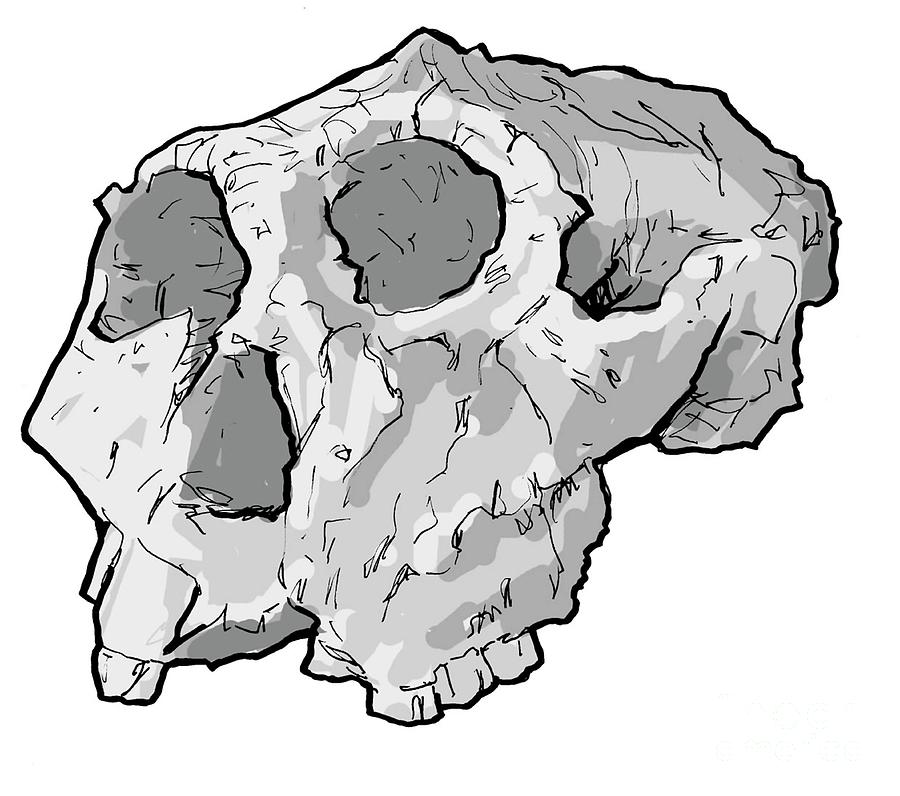 African Photograph - Paranthropus Robustus Skull by Tim Brown/science Photo Library