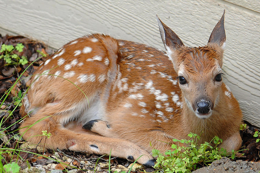 Fawn Photograph - Parked Fawn by Edward Swearingen