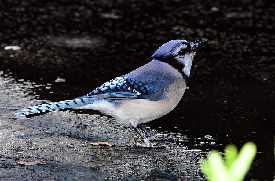 Parking Lot Blue Jay by William Tasker