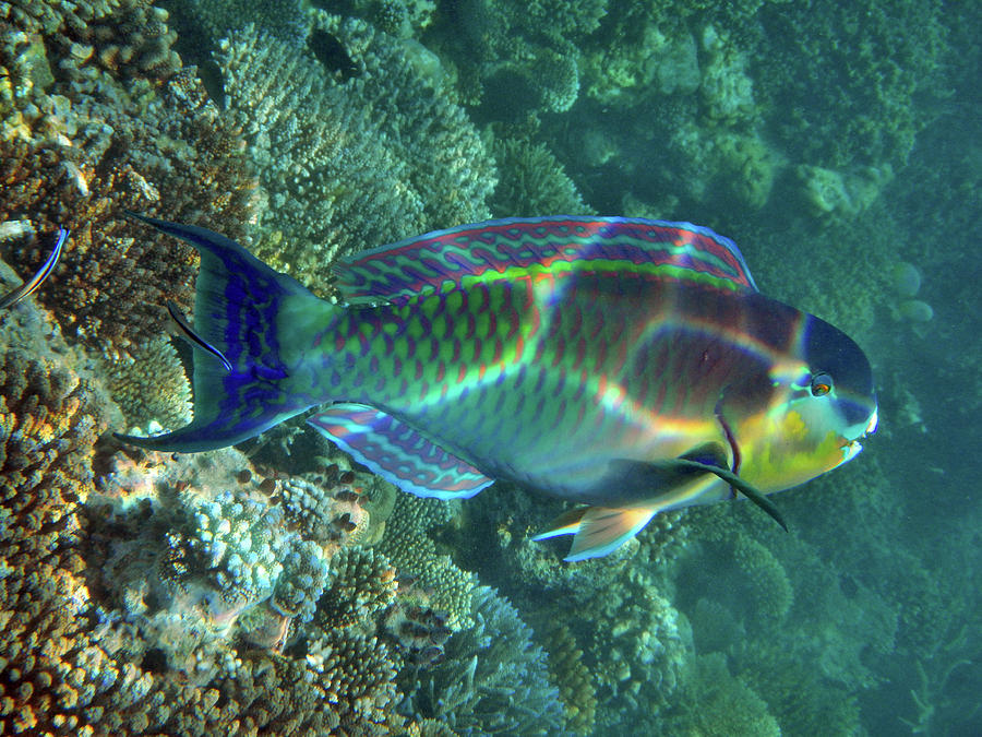 Parrot Fish Photograph by Federica Grassi
