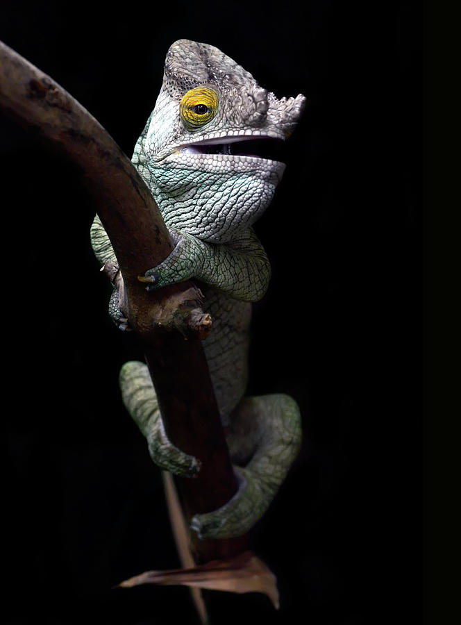 Parsons Chameleon Photograph by Photo By Steve Wilson