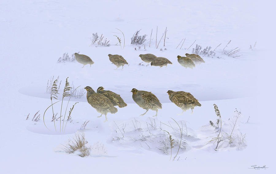 Bird Digital Art - Partridge Covey In The Snow by M Spadecaller