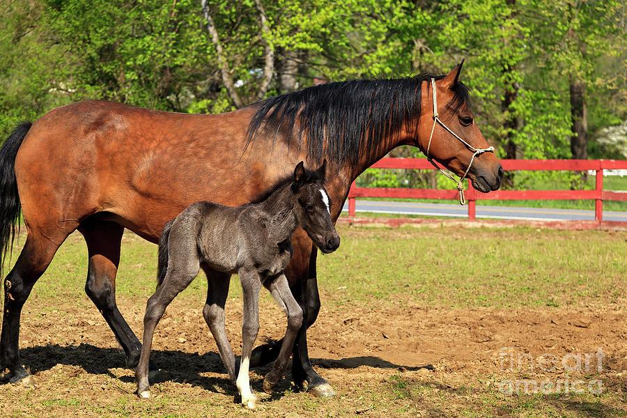 Paso Fino Horses Photograph