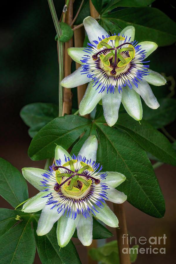 Passiflora Duet Photograph