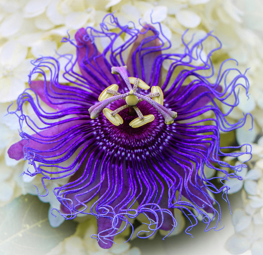 Passiflora Incarnata by Venetia Featherstone-Witty