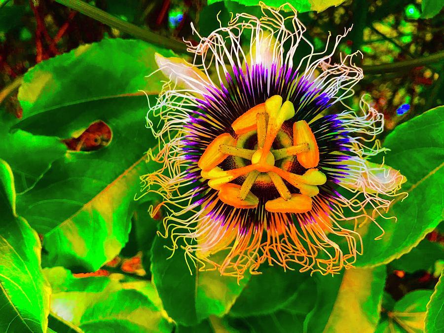 Passion Floweer for Pele Aloha by Joalene Young