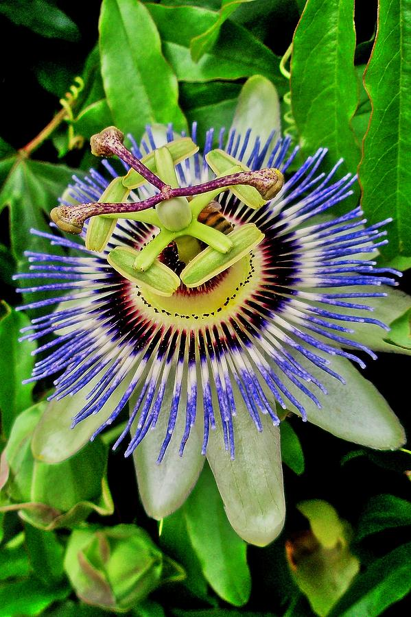 Passion Flower Bee Delight by Allen Nice-Webb