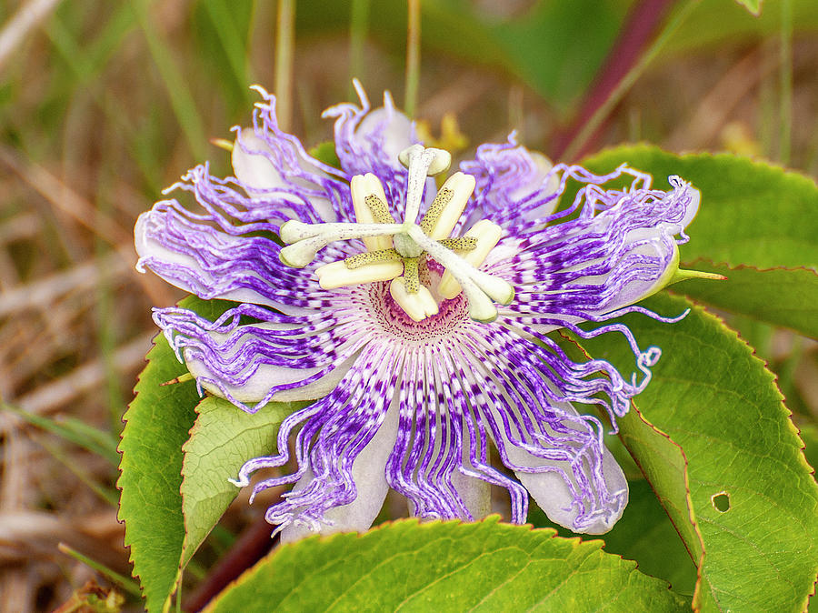 Passion Flower by Gene Bollig