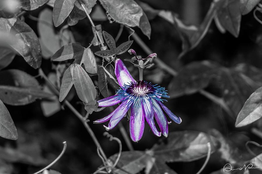 Arizona Photograph - Passion Flower Only Alt by Dennis Dempsie