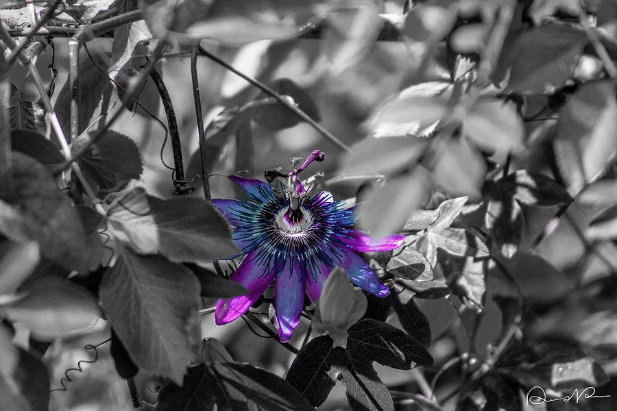 Arizona Photograph - Passion Flower Only by Dennis Dempsie