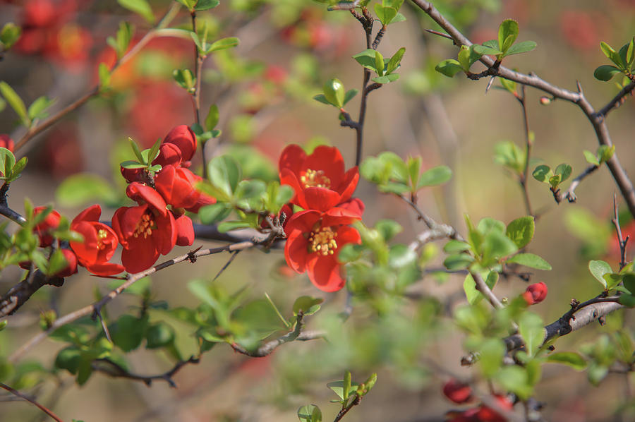 Passionate Red Of Chinese Quince 1 Photograph By Jenny Rainbow
