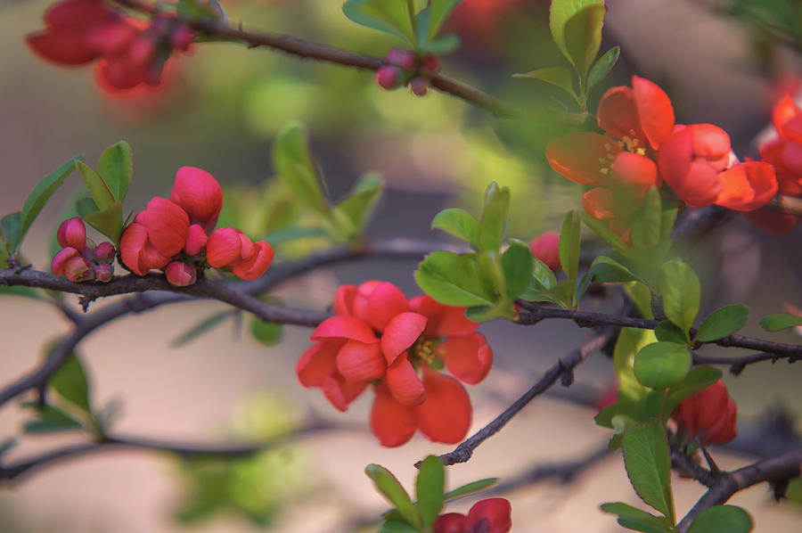 Passionate Red Of Chinese Quince 10 Photograph By Jenny Rainbow
