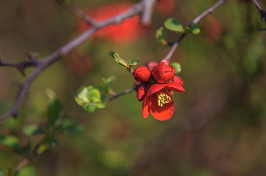 Passionate Red Of Chinese Quince 4 Photograph By Jenny Rainbow