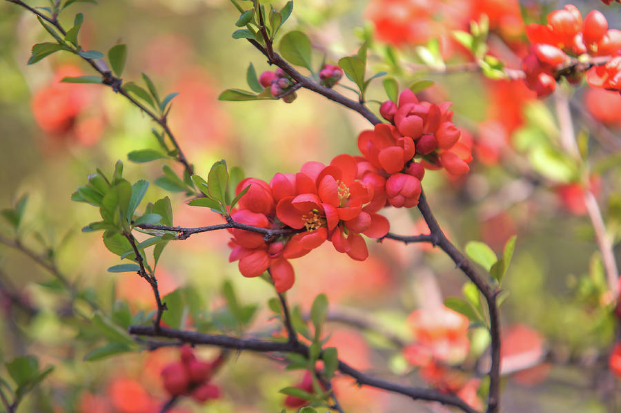 Passionate Red Of Chinese Quince 8 Photograph By Jenny Rainbow