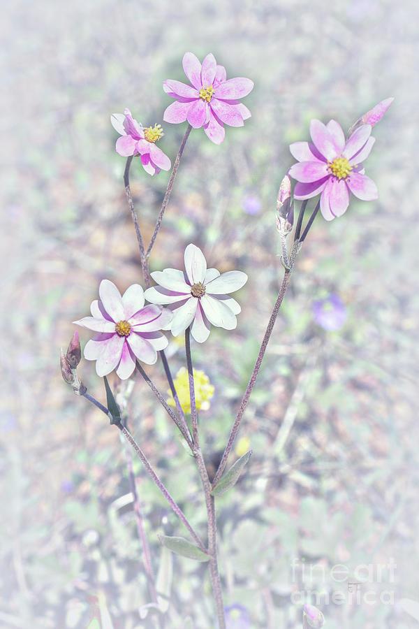 Pastel Paper Daisies by Elaine Teague
